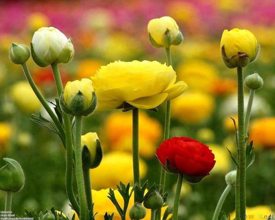 62123_483344448379627_648320858_nanemoni gialli e rossi