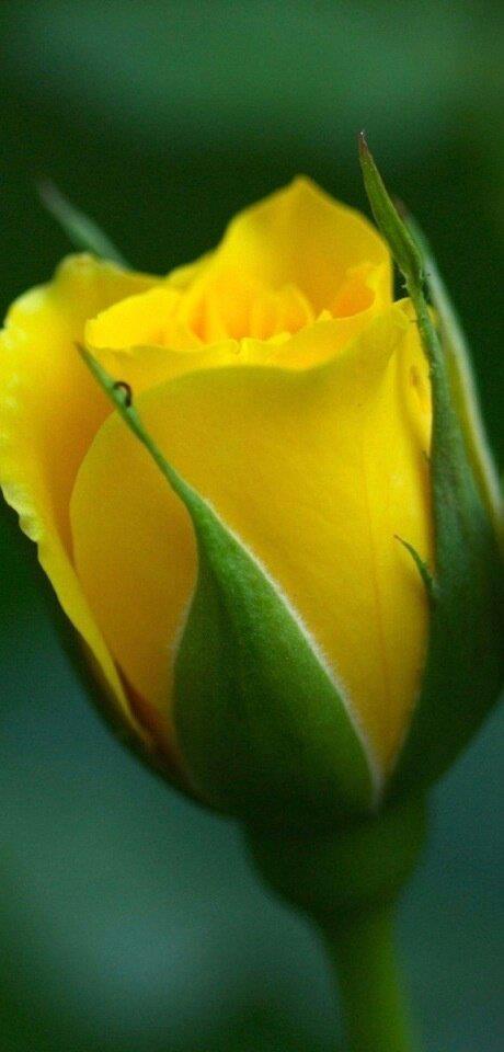 bocciolo giallo