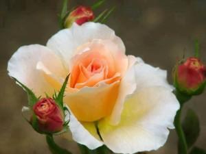 cropped-rosa-molto-bella.jpg